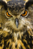 Eurasian Eagle-Owl. The Eurasian Eagle-owl or Bubo bubo is a species of eagle owl. This large bird lives thru out Europe and Asia Stock Photo