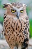 Eurasian Eagle-owl. Portrait, close up Stock Images