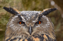 Eurasian Eagle-Owl Royalty Free Stock Photos
