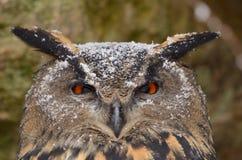 Eurasian Eagle-Owl. Portrait of an Eurasian Eagle-Owl royalty free stock photos