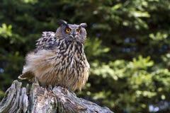 Eurasian Eagle-owl Stock Photos