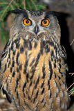 Eurasian Eagle-Owl. With beautiful orange eyes stock images