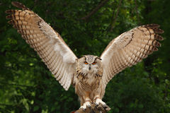 Eurasian Eagle owl Royalty Free Stock Photo