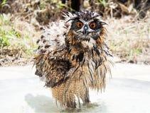 Eurasian Eagle-Owl. Wet bathing Eurasian Eagle-Owl Royalty Free Stock Images