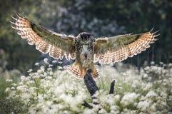 Eurasian Eagle Owl Arkivbilder