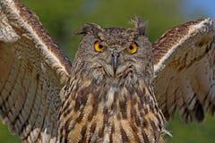 Eurasian Eagle Owl Arkivfoto