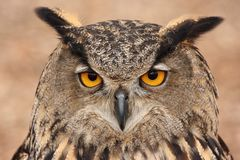 Free Eurasian Eagle Owl Stock Photo - 4270960