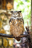 Eurasian Eagle Owl Fotografia de Stock Royalty Free