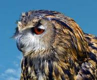 Eurasian Eagle Owl immagine stock