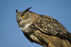 Eurasian Eagle Owl Royalty Free Stock Images