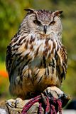 Eurasian Eagle Owl. At the zoo stock images