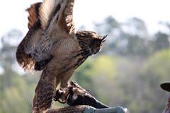 Eurasian Eagle Owl Imagem de Stock