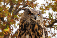 Eurasian Eagle Owl Royaltyfri Fotografi