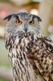 Eurasian eagle-owl Royalty Free Stock Image