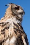 Eurasian Eagle Owl fotografia stock libera da diritti