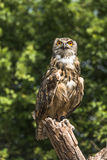 Eurasian Eagle Owl Stock Photos