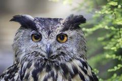 Eurasian eagle owl also known as Eurpopean Eagle owl. Face of the Eurasian eagle owl (bubo bubo) also known as European Eagle owl. The eagle-owl is from the Royalty Free Stock Photo