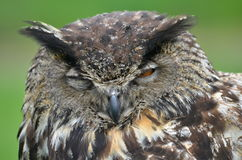 Eurasian Eagle Owl. Animal people care Royalty Free Stock Image