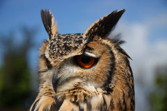 Eurasian Eagle Owl (B. Bubo) Stock Photos