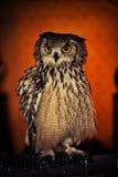 An Eurasian Eagle owl Stock Photography