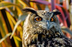 Eurasian Eagle Owl. Beautiful Eagle Owl head shot with colorful red green purple and blue foliage as a backdrop Stock Photography