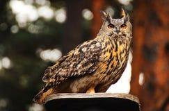 Eurasian eagle owl Royalty Free Stock Photography