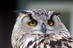 Eurasian Eagle Owl Bird Face Close-up Stock Image