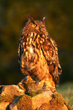 Eurasian Eagle Owl, bird sitting on the stone in the meadow with catch hedgehog. Beautiful rare owl in the nature habitat. Animal Stock Photo