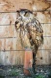 Eurasian eagle owl - Bubo bubo – bred in captivity. Eurasian eagle owl - Bubo bubo – bird scene. Beauty in nature. Big eyes. Bred in captivity. Night owl Stock Photography