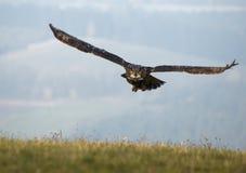 Eurasian Eagle Owl (Bubo bubo) Stock Photo