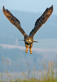 Eurasian Eagle Owl (Bubo bubo) Stock Photography