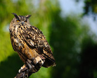 Eurasian Eagle-owl (Bubo bubo). The Eagle Owl (Bubo bubo) has a wingspan of up to 138-200 cm and measures 58-73 cm long. Its resident in much of Europe and Asia Royalty Free Stock Photography