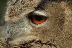 Eurasian eagle-owl (Bubo bubo). Close portrait of an eagle-owl royalty free stock image