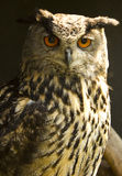 Eurasian Eagle-Owl (Bubo bubo) Stock Photo