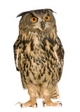 Eurasian Eagle Owl - Bubo bubo (22 months) Royalty Free Stock Photo