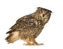 Eurasian Eagle Owl - Bubo bubo (22 months) Stock Photos