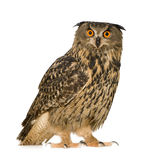 Eurasian Eagle Owl - Bubo bubo (22 months) Stock Photos