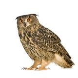 Eurasian Eagle Owl - Bubo bubo (22 months) Stock Image