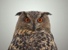 Eurasian Eagle Owl - Bubo bubo. Close up photo of a Eurasian Eagle Owl Royalty Free Stock Images