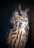 Eurasian Eagle-Owl (Bubo bubo) Stock Photos