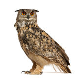 Eurasian Eagle-Owl, Bubo bubo. A species of eagle owl, standing in front of white background Stock Photo