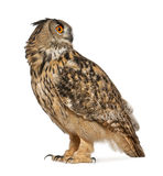 Eurasian Eagle-Owl, Bubo bubo. A species of eagle owl, standing in front of white background Royalty Free Stock Image