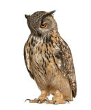 Eurasian Eagle-Owl, Bubo bubo. A species of eagle owl, standing in front of white background stock image