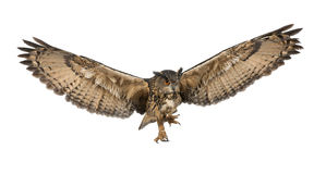 Eurasian Eagle-Owl, Bubo bubo. 15 years old, flying against white background Stock Images
