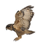 Eurasian Eagle-Owl, Bubo bubo. 15 years old, flying against white background Stock Image