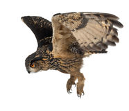 Eurasian Eagle-Owl, Bubo bubo. 15 years old, flying against white background Stock Photo