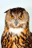 Eurasian Eagle Owl Bubo bubo Royalty Free Stock Image