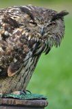 Eurasian Eagle Owl. (Bubo bubo Royalty Free Stock Images
