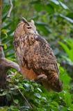 The Eurasian eagle-owl (Bubo bubo) Royalty Free Stock Images
