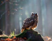 Eurasian Eagle Owl Bubo Bubo che si siede sul ceppo in foresta, c Fotografie Stock Libere da Diritti
